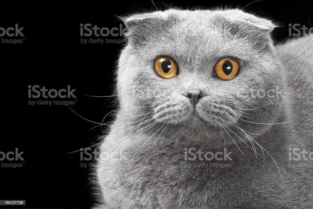 blue scottish fold cat on black background royalty-free stock photo
