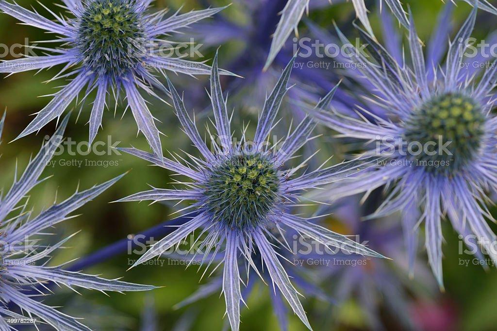 Blue Sea Holly stock photo