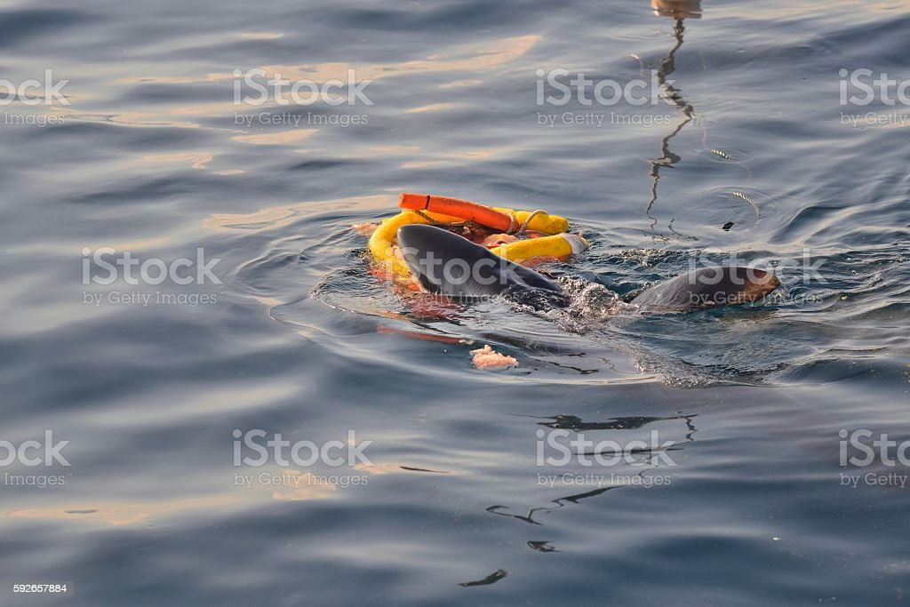 Blue Shark Attacks a Float stock photo