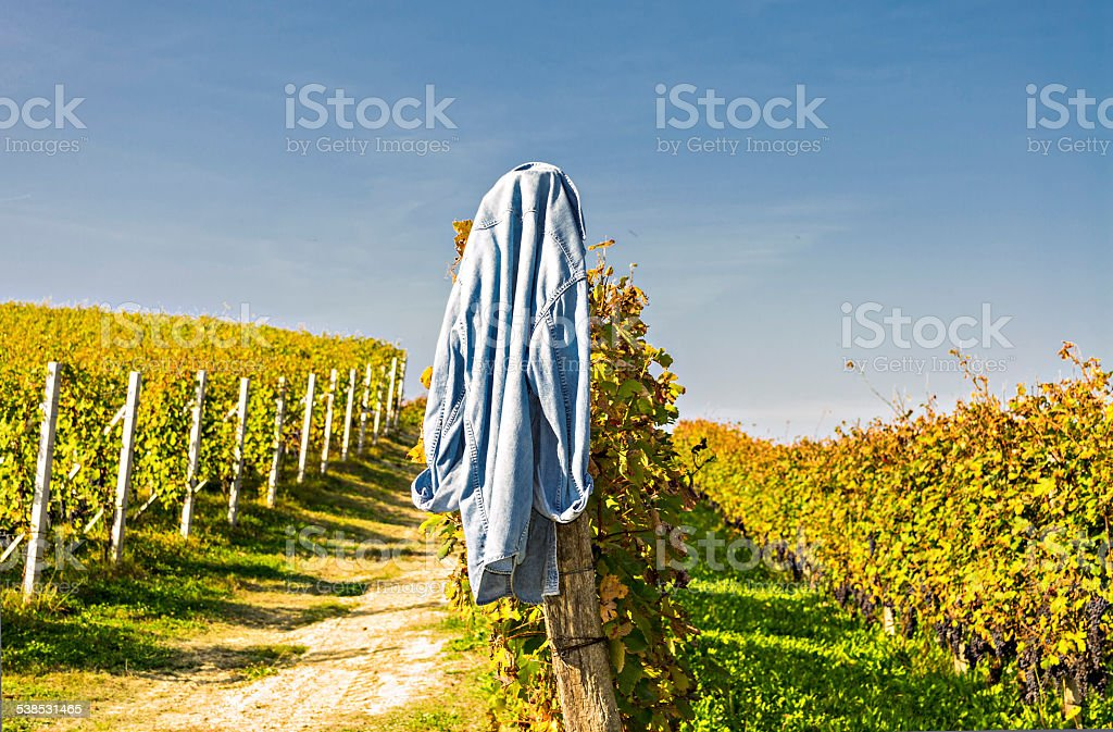 Blue shirt hanging by a row in a vineyard sunny stock photo