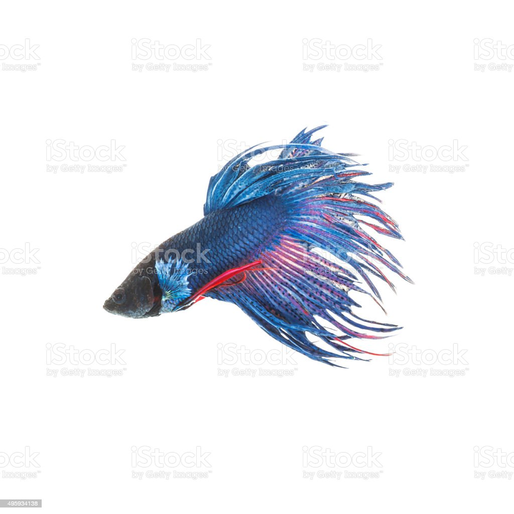Blue siamese fighting fish, betta splendens isolated on white background stock photo