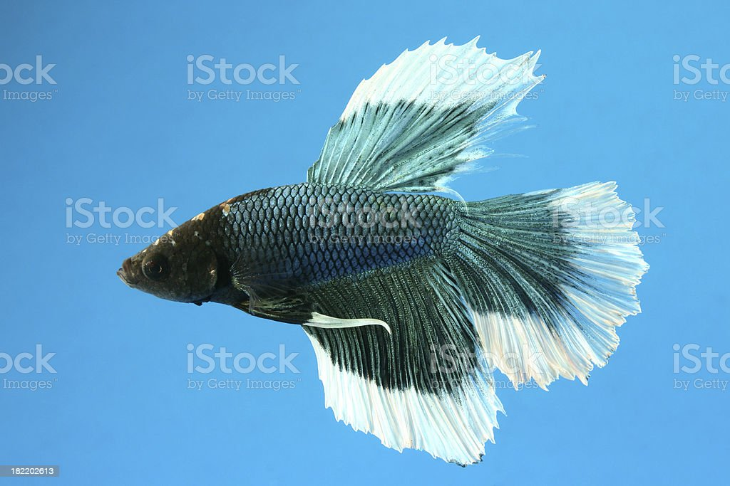 blue siamese fighting fish royalty-free stock photo