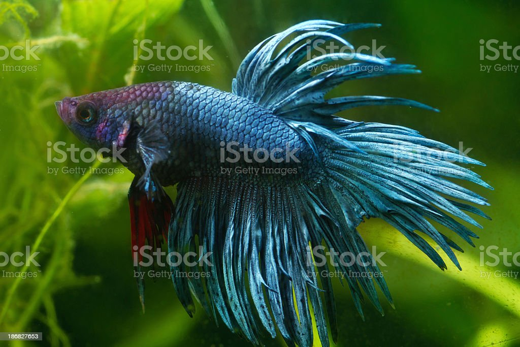 Blue Siamese fighting fish stock photo