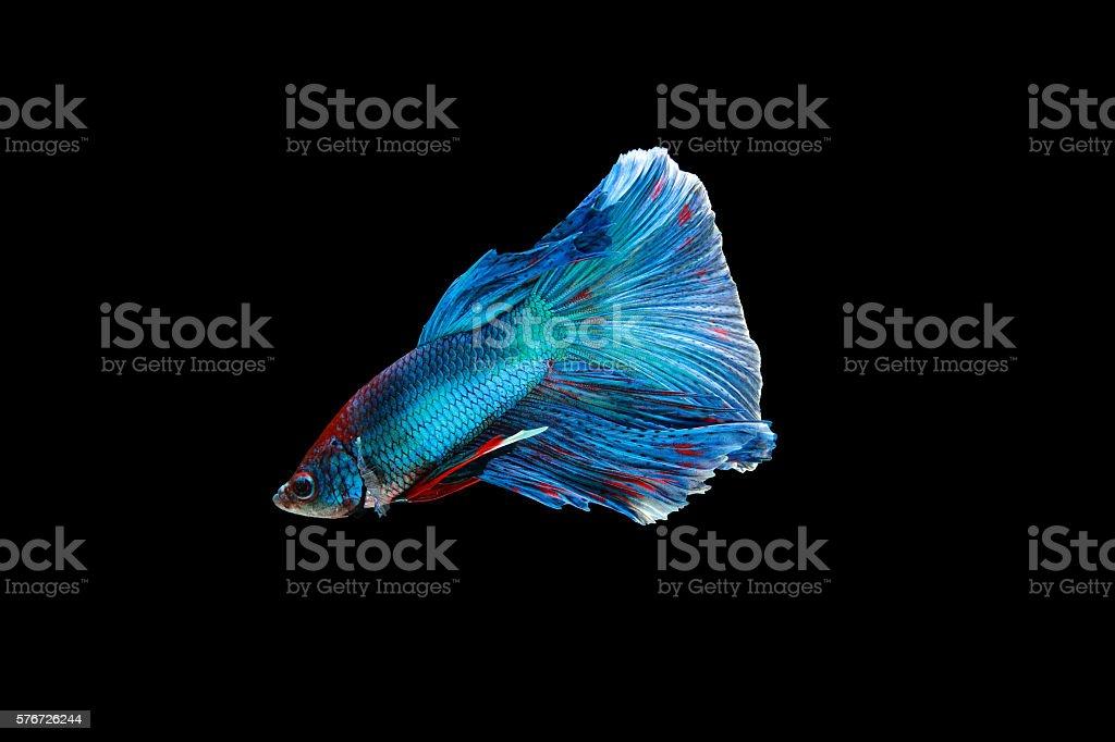 Blue siamese fighting fish stock photo