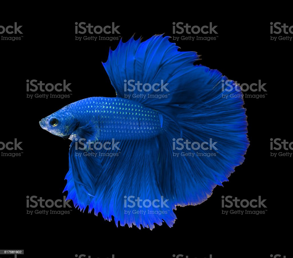 Blue siamese fighting fish,Halfmoon betta fish isolated on black stock photo
