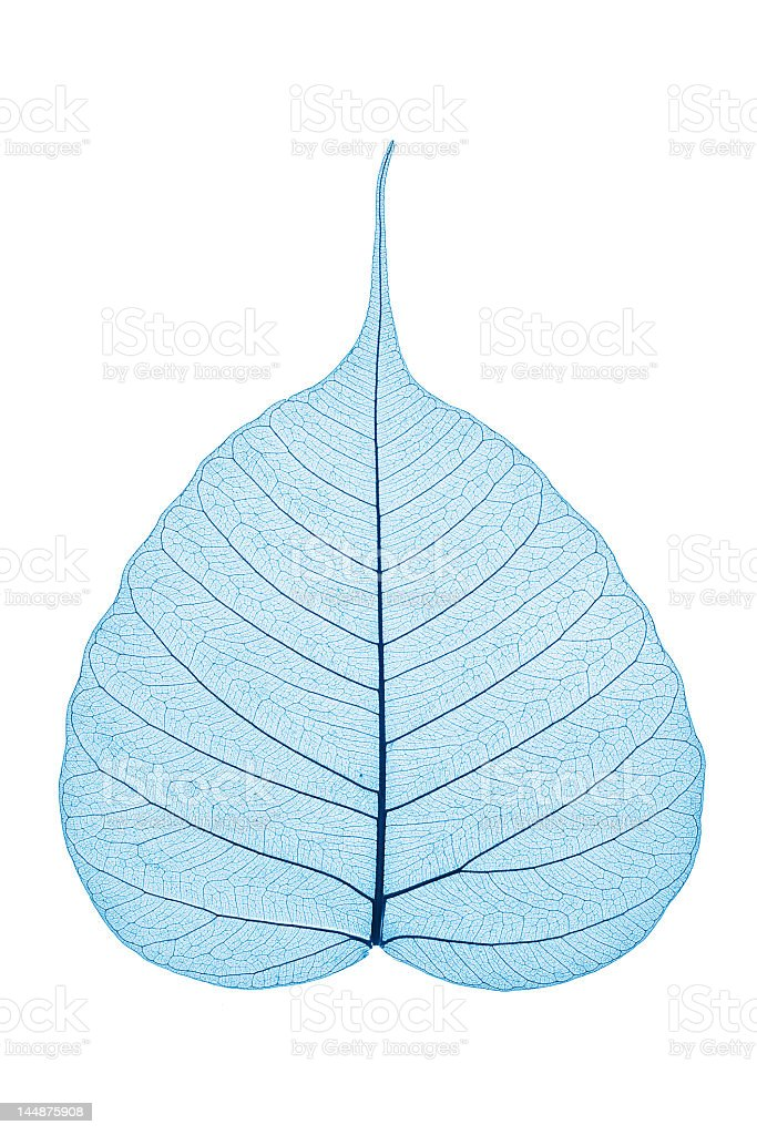 A blue skeleton leaf on a white background royalty-free stock photo