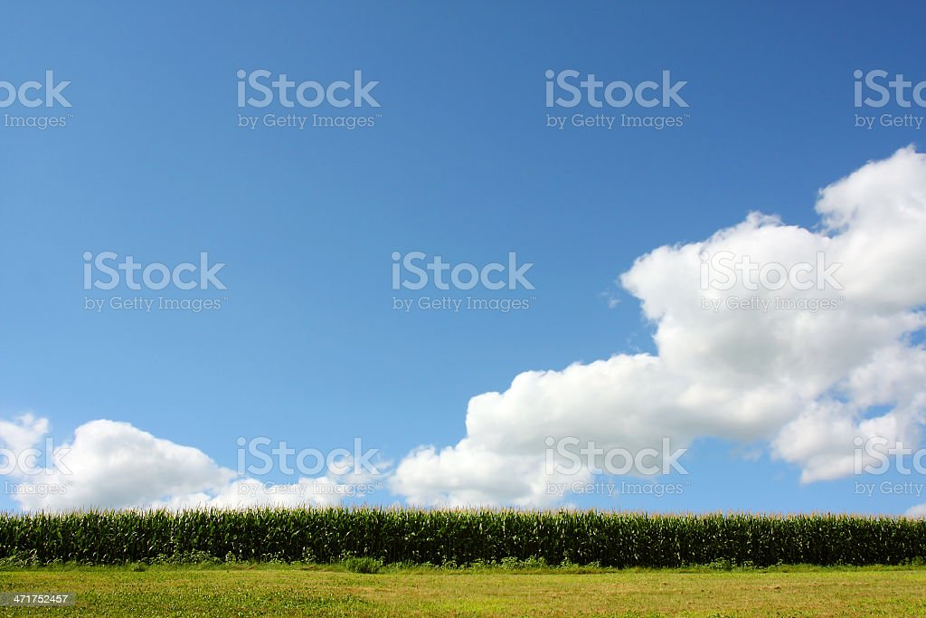 Blue Sky and Cornfield royalty-free stock photo