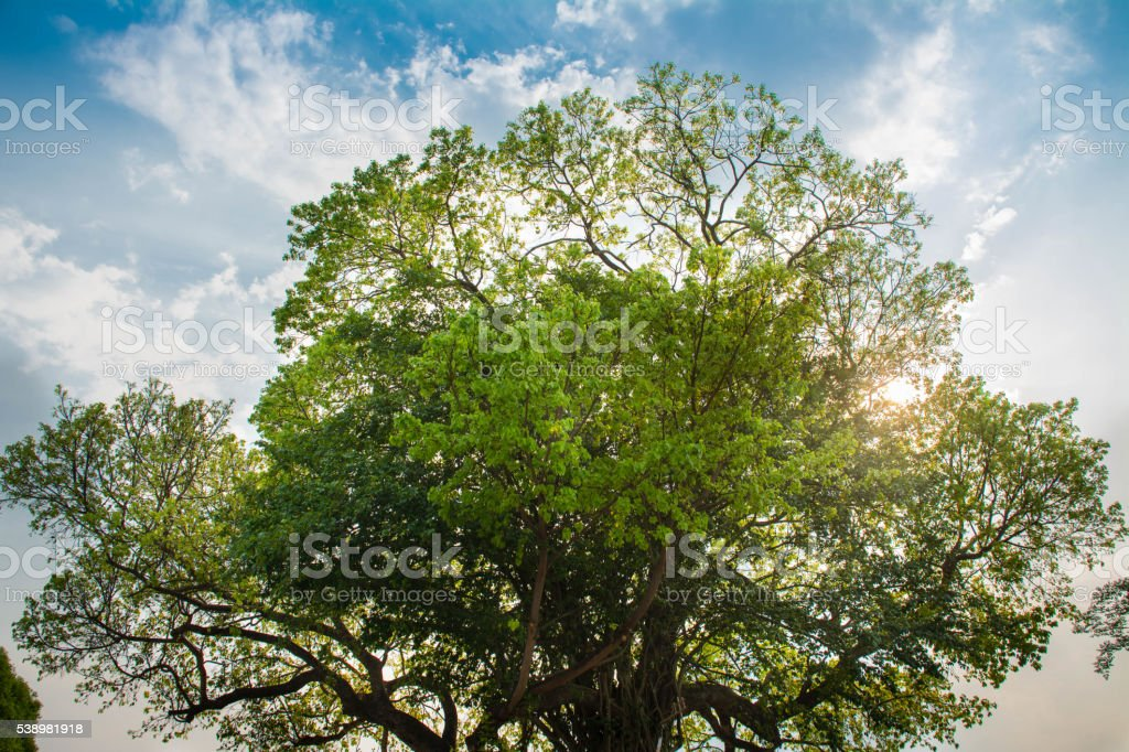 Blue sky and Giant green tree stock photo