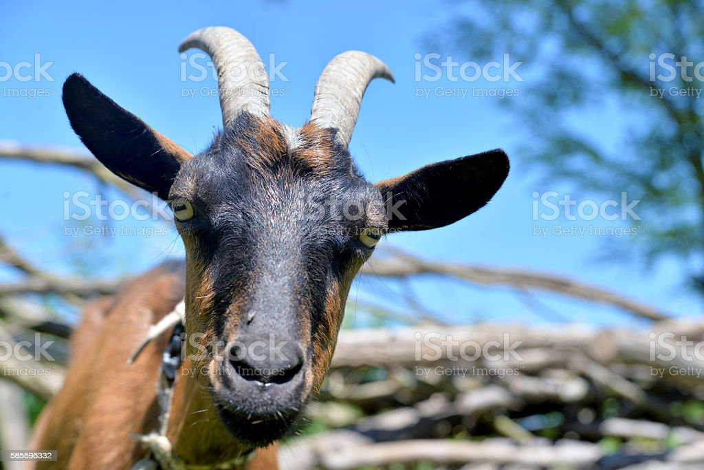 Blue sky and goat stock photo