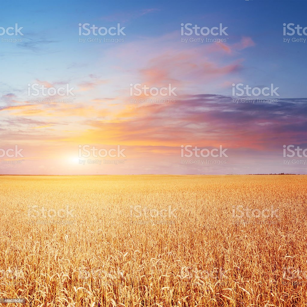 Blue sky and golden field of wheat. stock photo