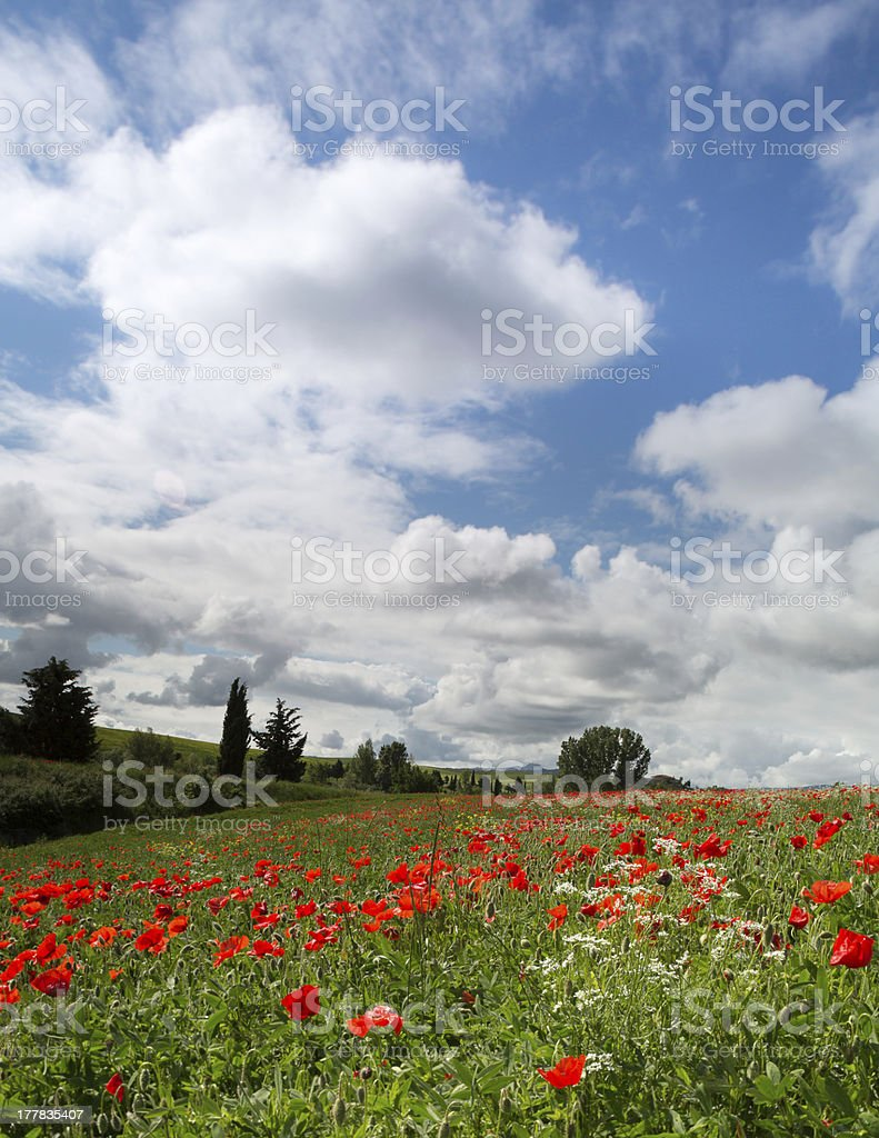 Blue sky and poppies in Tuscany royalty-free stock photo