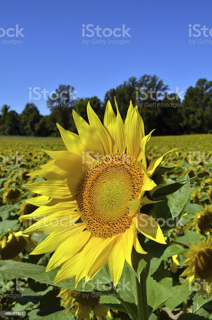 Blue Sky and Yellow Sunflowers stock photo