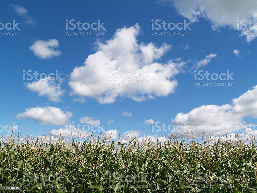 Ciel bleu champ de maïs photo libre de droits