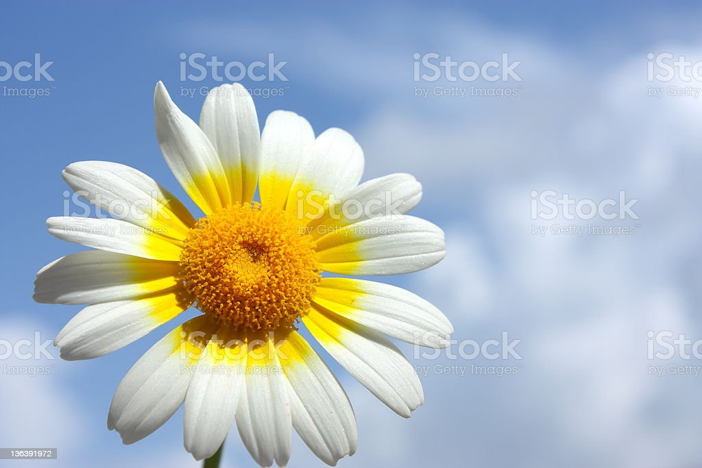 Blue sky daisy meadow royalty-free stock photo