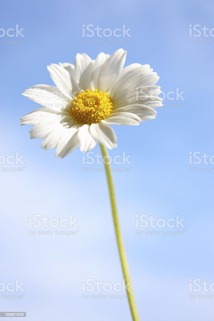 Blue sky daisy meadow royalty-free stock photo