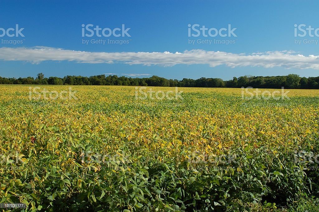 Blue Sky over Indiana Soybean Field royalty-free stock photo