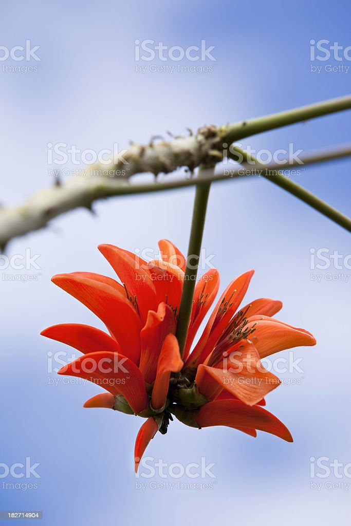 Blue sky over red flower - Tiger's Claw royalty-free stock photo