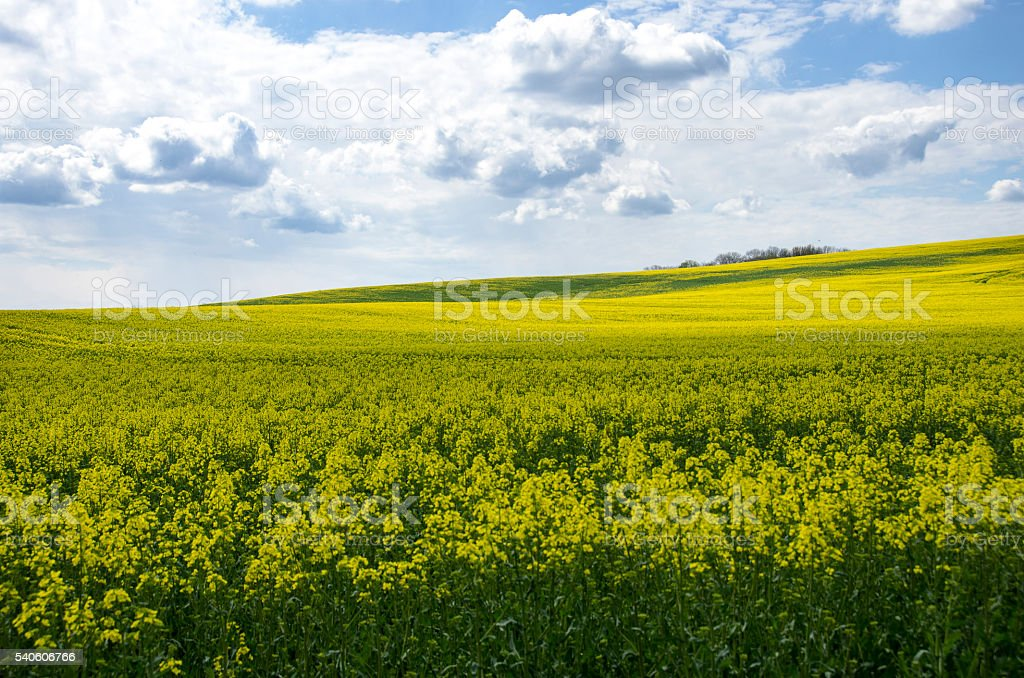 Blue sky over the rape field stock photo