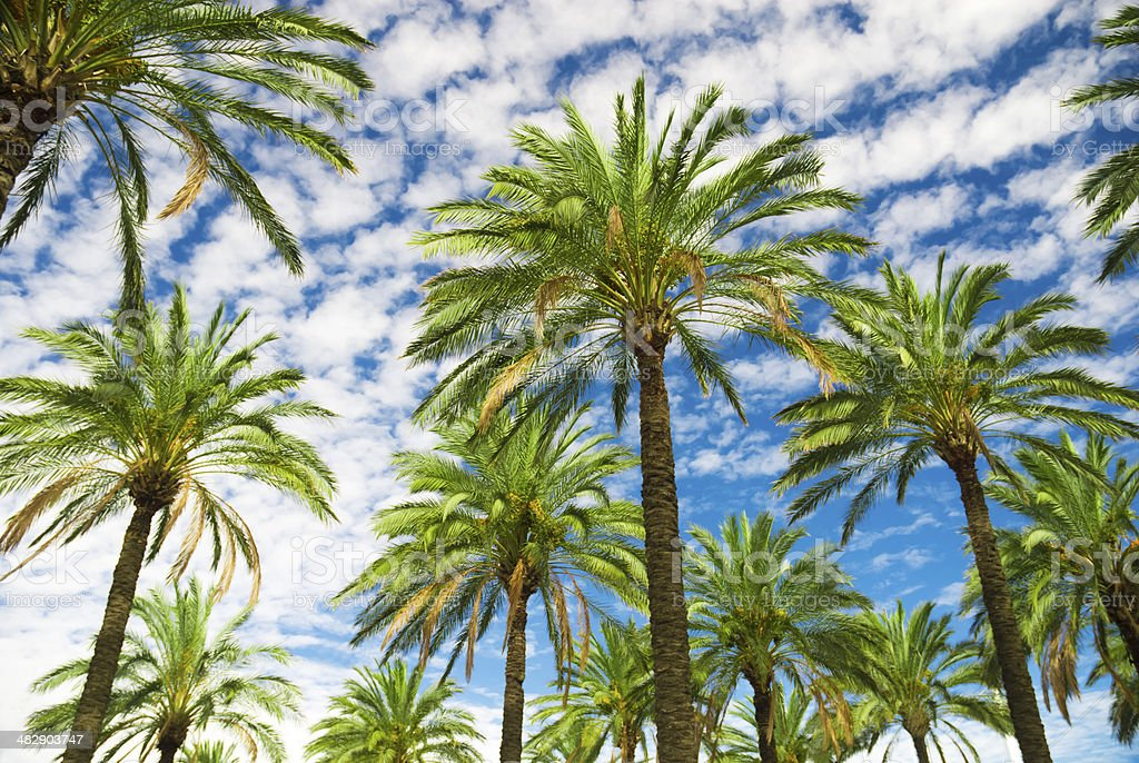 Blue sky palm trees in tropical summer stock photo