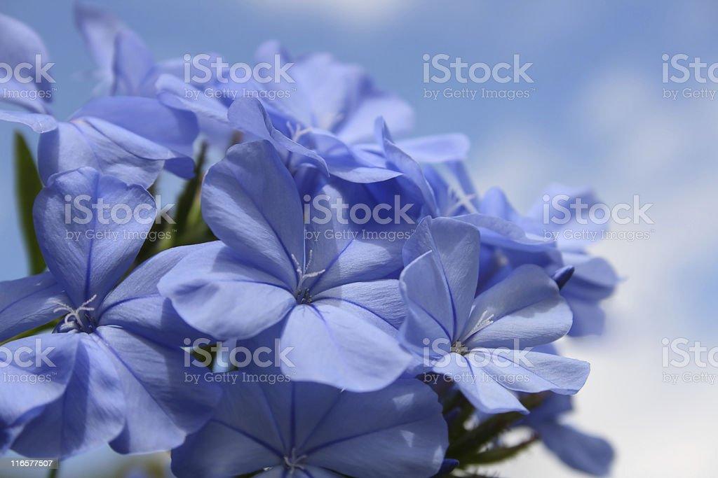 Blue Sky Plumbago royalty-free stock photo