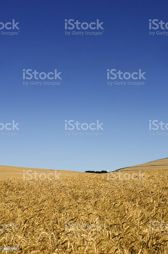 Blue Sky Wheat stock photo