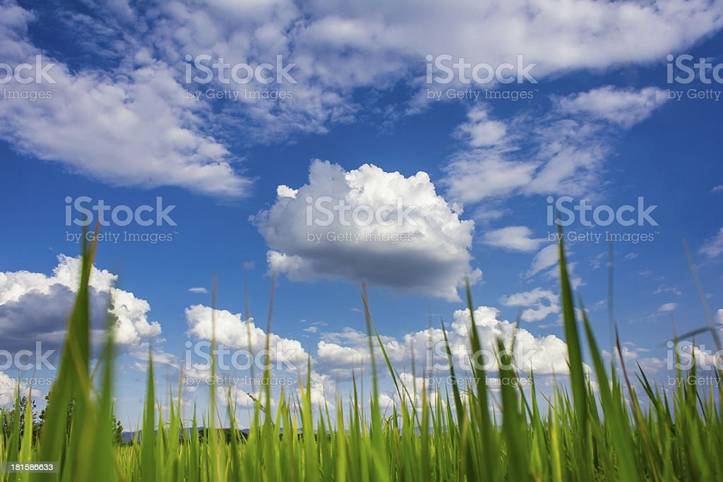 blue sky , white clouds above the rice field royalty-free stock photo
