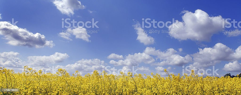 Blue sky with clouds over yellow field stock photo