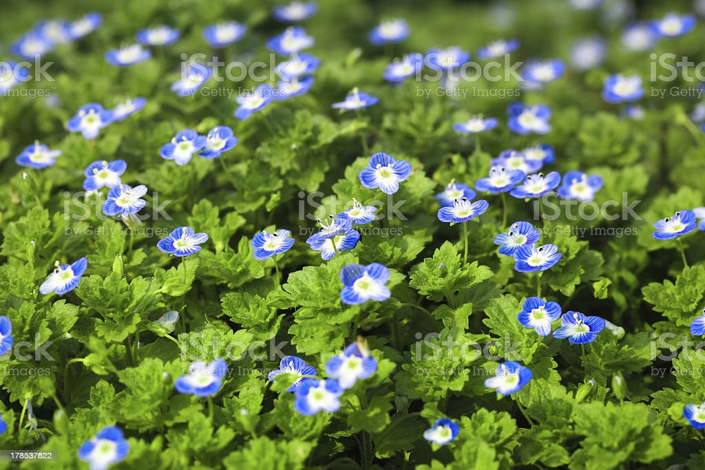 blue small flower royalty-free stock photo