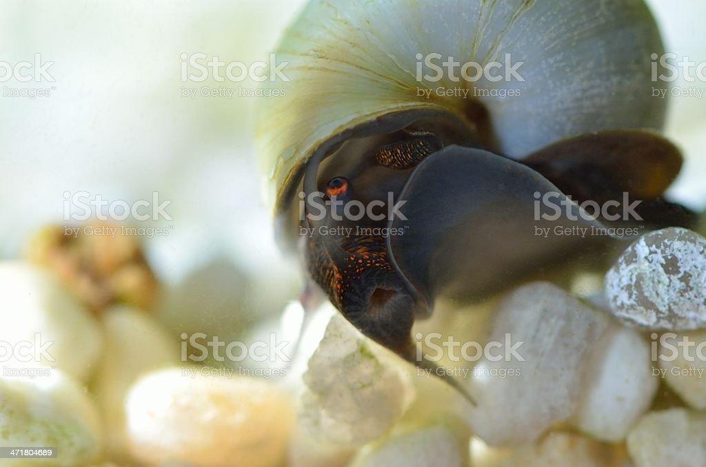 blue snail royalty-free stock photo