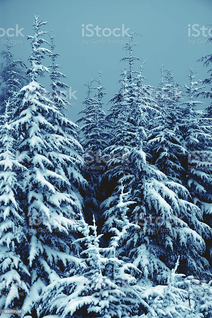 Blue Snow Covered Trees royalty-free stock photo