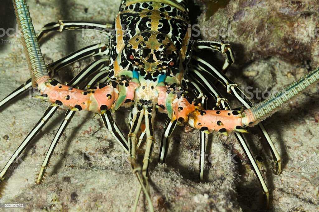 Blue Spiny Lobster Panulirus versicolor at Night near Praslin, Seychelles. stock photo