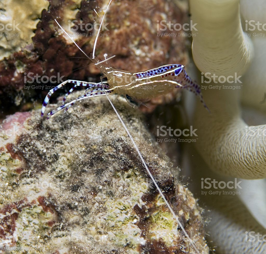 Blue Spotted Anemone Cleaner Shrimp stock photo