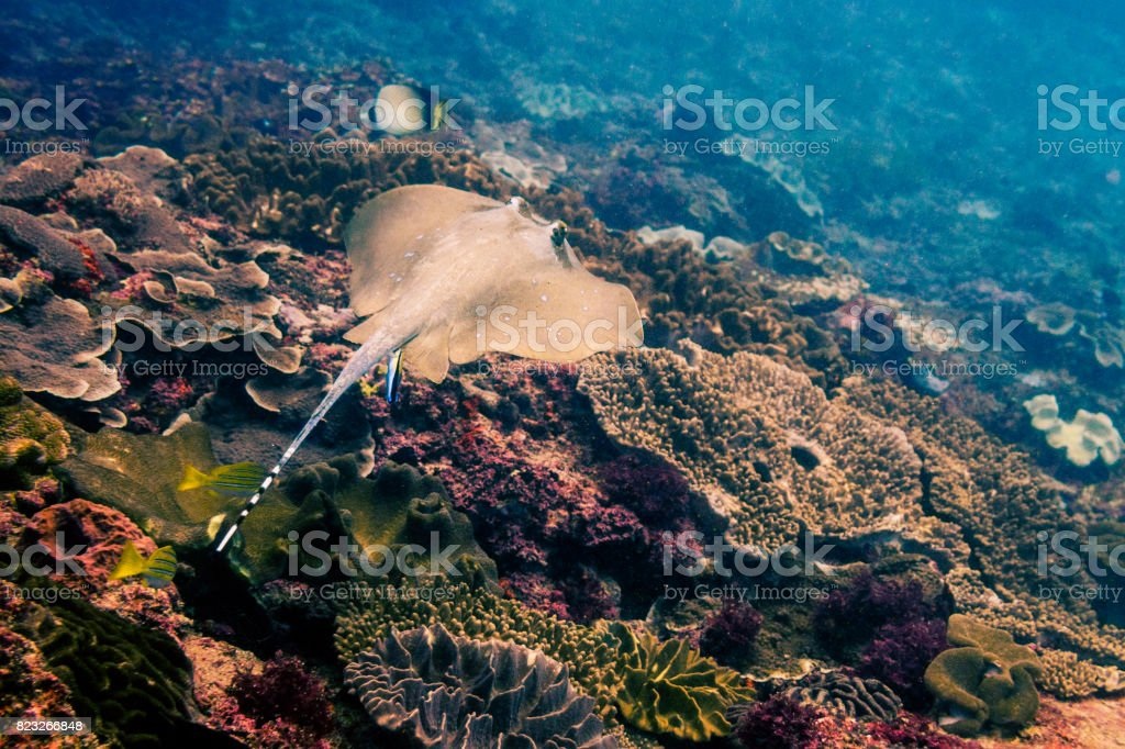 Blue Spotted Sting Ray stock photo