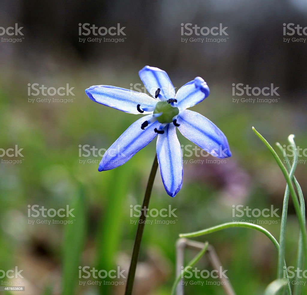 Blue spring flower close-up on natural background in backlit stock photo