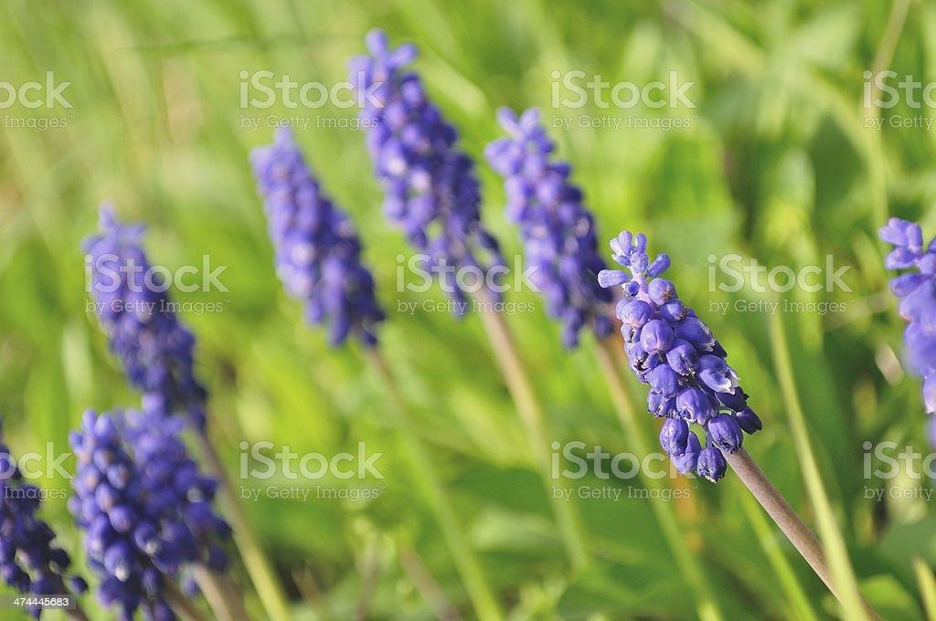 Niebieski Wiosna kwiatów z Szafirek, Muscari racemosum zbiór zdjęć royalty-free