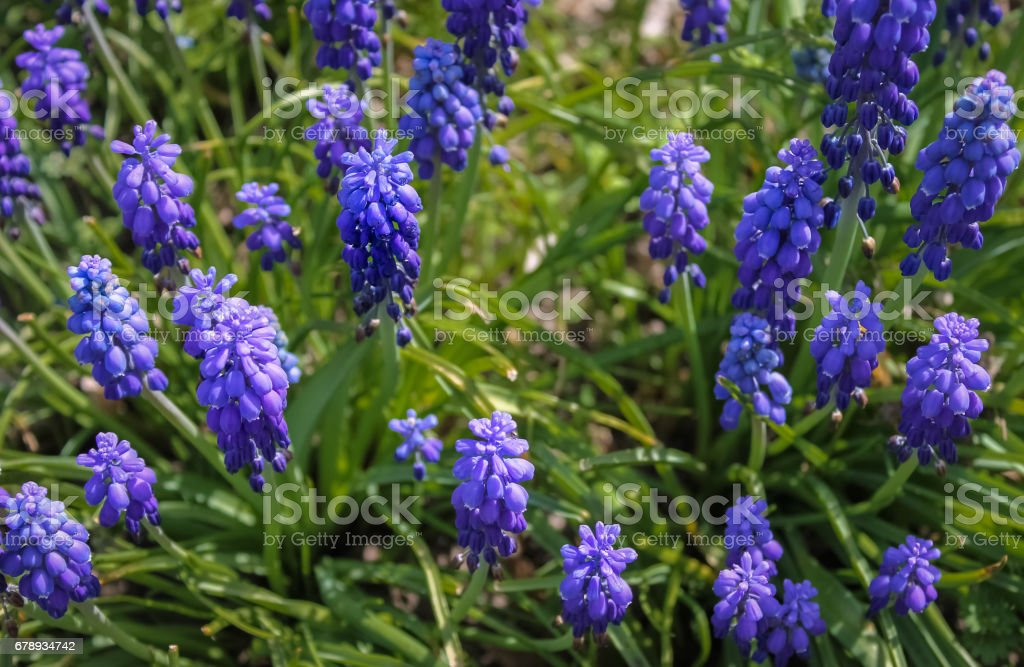 Blue spring flowers grape hyacinth in natural background, closeup. Also known as blue muscari flowers. stock photo