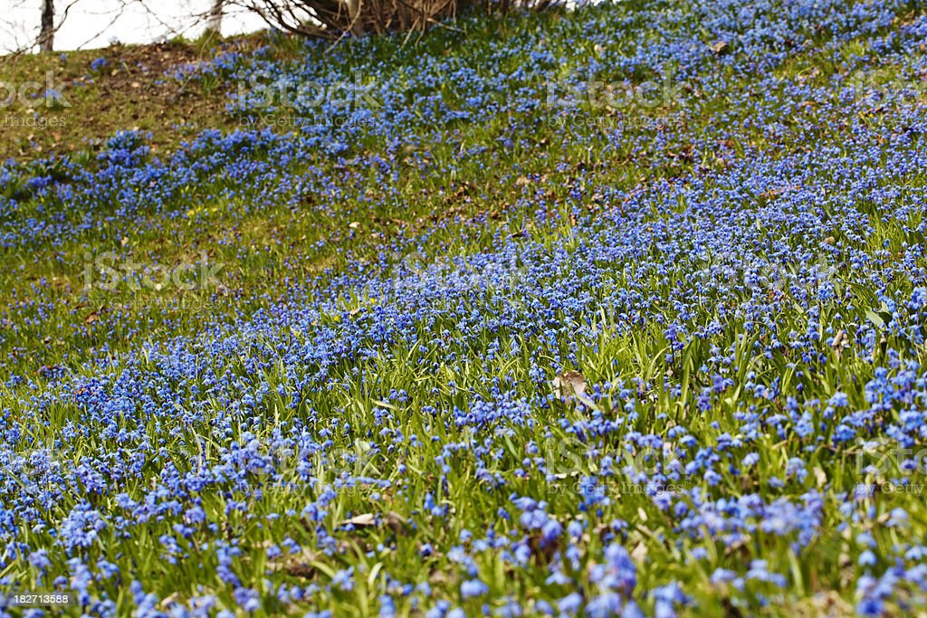 Blue spring flowers in the forest. royalty-free stock photo
