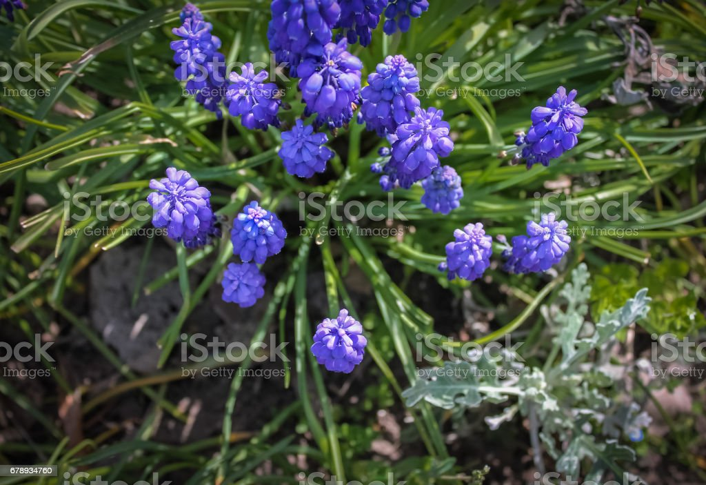 Blue spring flowers muscari or grape hyacinth in natural background, closeup. Center. stock photo