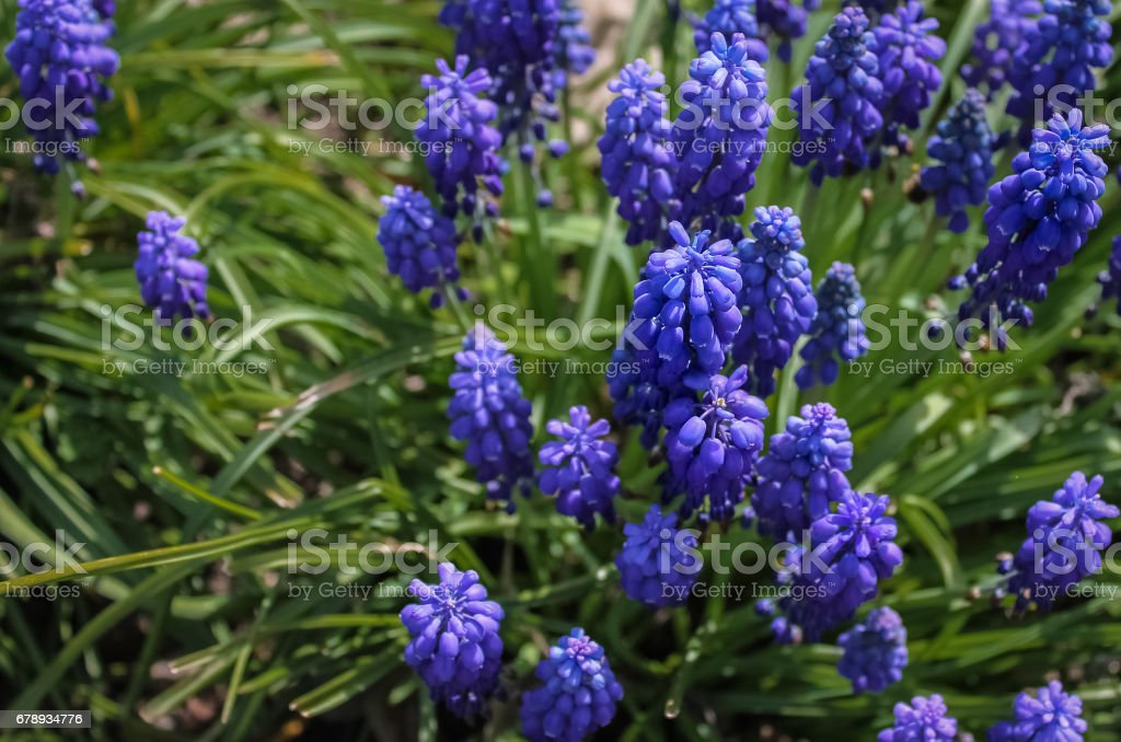 Blue spring flowers muscari or grape hyacinth in natural background, closeup. Right side. stock photo