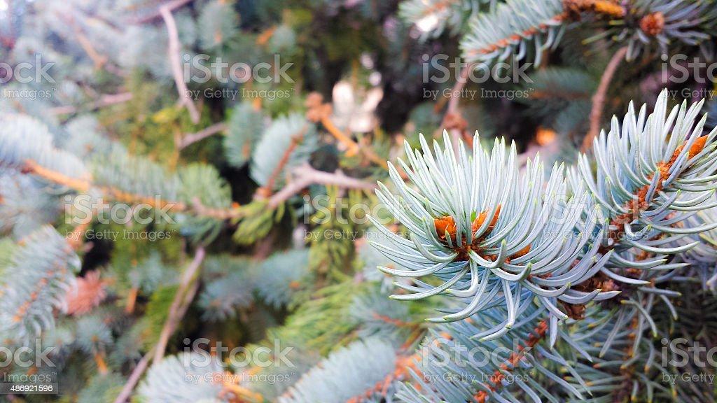 Blue Spruce Background stock photo