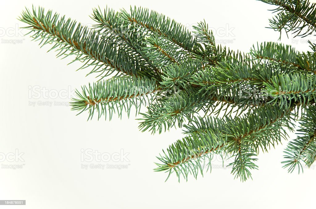 Blue Spruce Bough on White royalty-free stock photo