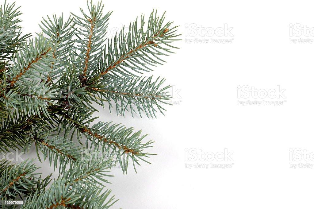 Blue Spruce Bough stock photo
