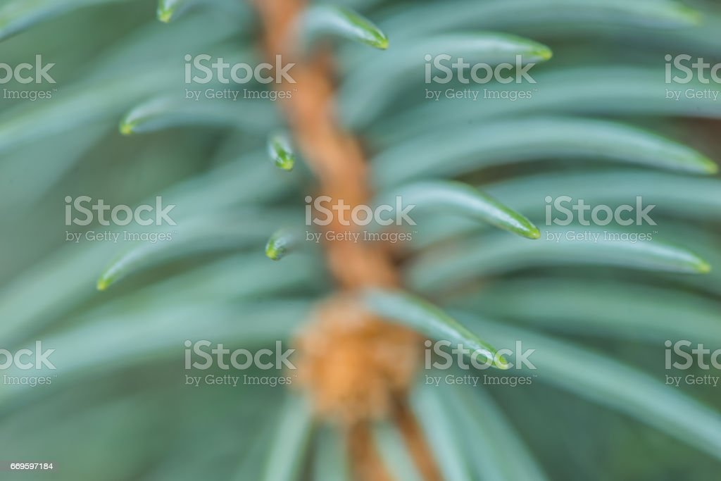 Blue spruce branches on a green background stock photo