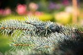 Blue spruce branches on background of blurred flowers