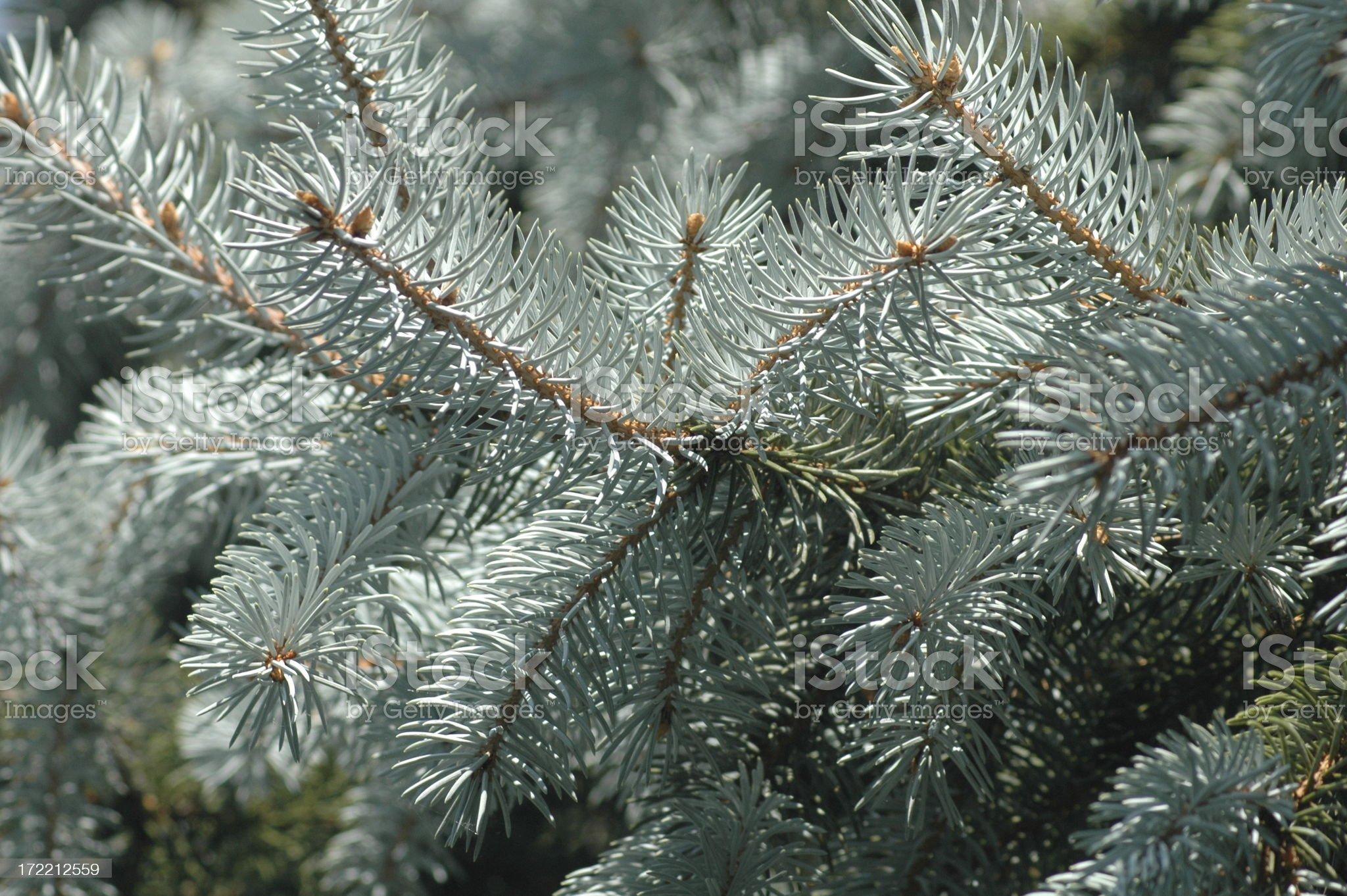 Blue Spruce Christmas Tree royalty-free stock photo