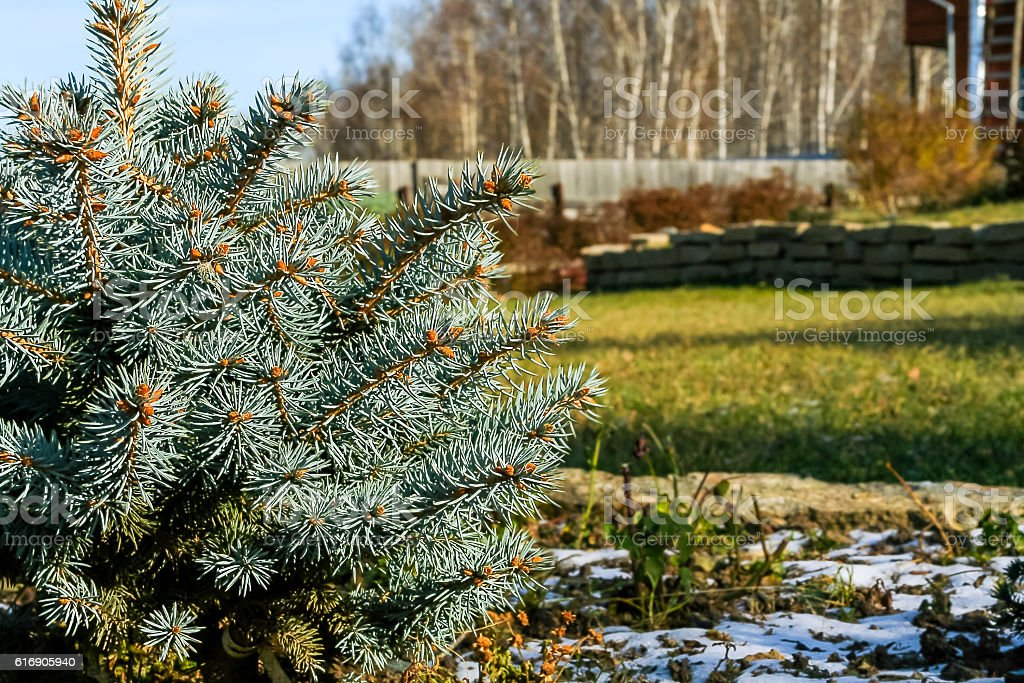 Blue spruce close-up and earliest snow in the autumn garden stock photo