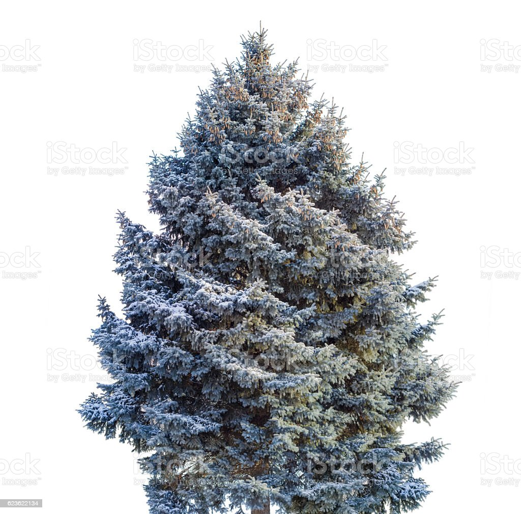 Blue spruce covered with snow on a light background stock photo