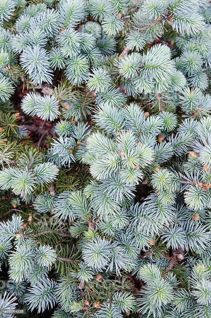 Blue Spruce Evergreen Background stock photo