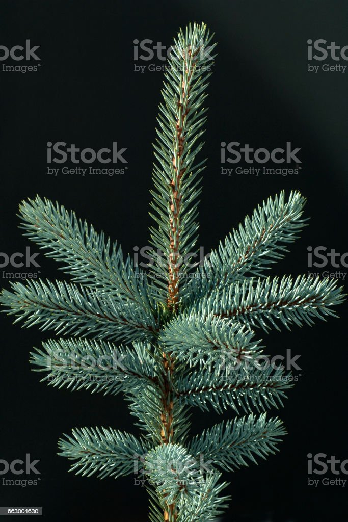 Blue spruce; fir; Picea; pungens stock photo