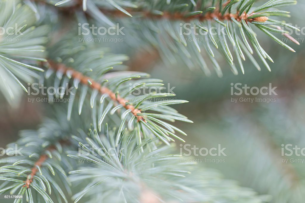 Blue Spruce Needles stock photo